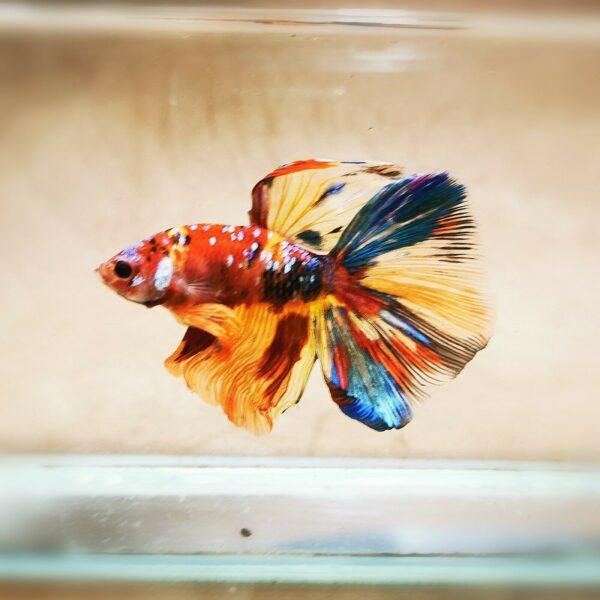 Live Betta Fish - Male - Koi Rainbow Galaxy Halfmoon (ANOV192)