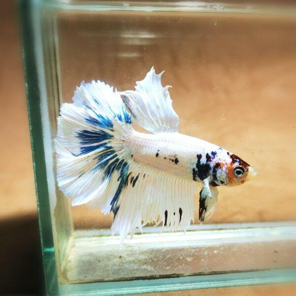 Live Betta Fish - Male - Koi Marble Halfmoon (ANOV171)