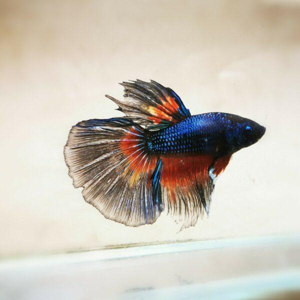 Live Betta Fish - Male - Koi Tricolor Halfmoon (ANOV161)