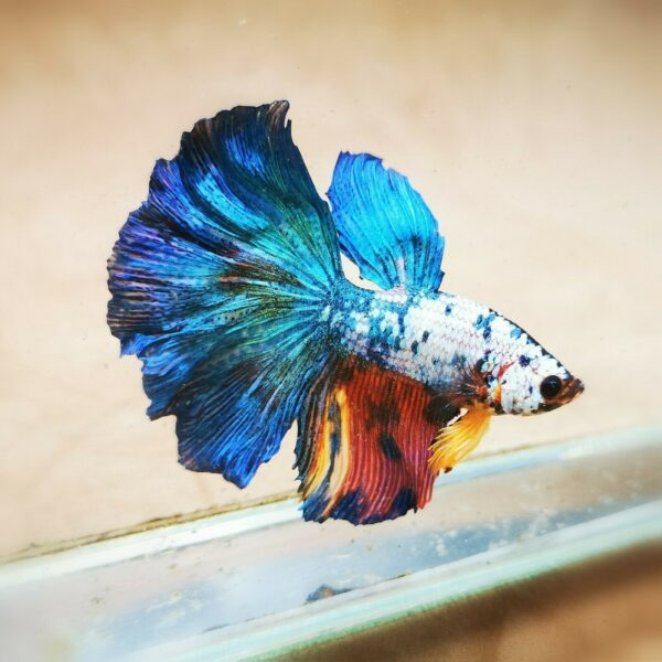 Live Betta Fish - Male - Koi Candy Halfmoon (ANOV164)
