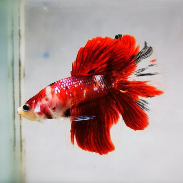 Live Betta Fish - Male - Koi Red Galaxy Halfmoon (ANOV227)