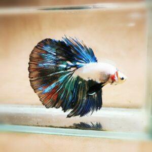 Live Betta Fish - Male - Fancy Multicolor Halfmoon (ANOV174)